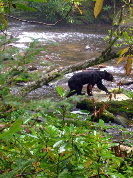 One of Great Smoky Mountains National Park's approximately 1,500 black bears (Photo: Tom Adkinson)